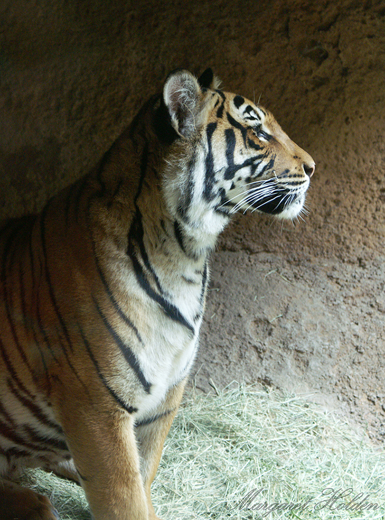 10MargaretHolden-Tiger-SanDiego-Zoo.jpg