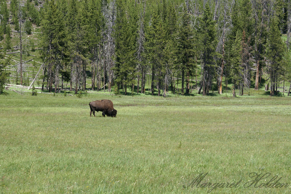 MargaretHolden-Bison-Field-Yellowstone.jpg