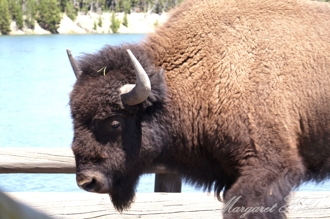 MargaretHolden-Bison-Yellowstone.jpg